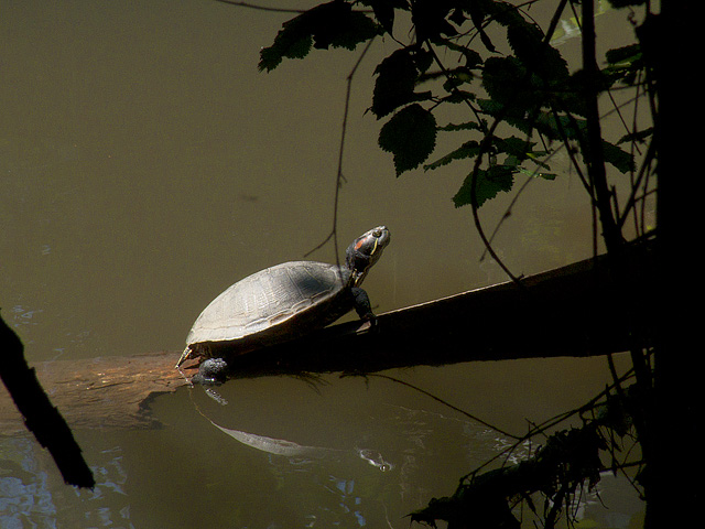 Red-eared Slider Turtle in Coyote Creek