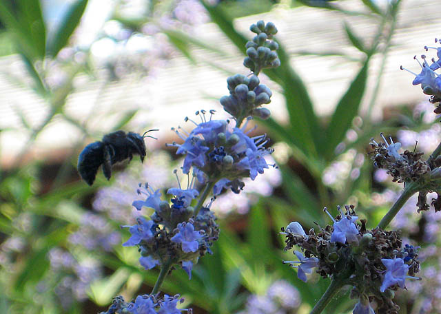 Lammas Bee Enjoying Vitex