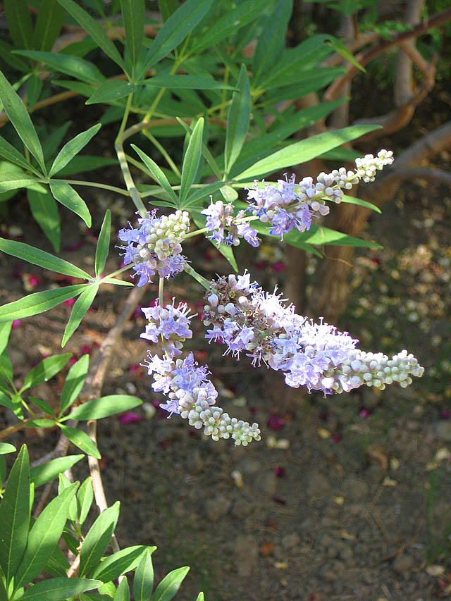 Lammas Flowering Vitex
