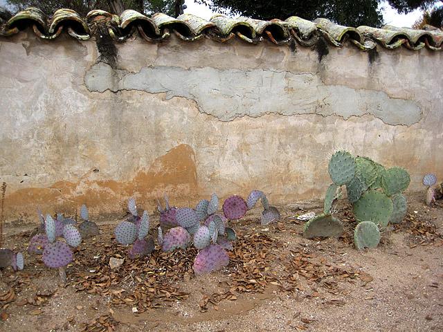 San Miguel young nopales cactuses