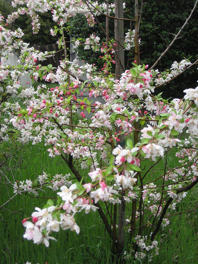 Equinox Flowering Tree
