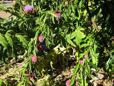 Midsummer Plums