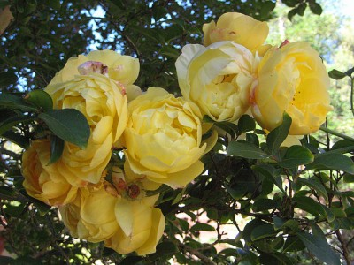 Midsummer Yellow Roses