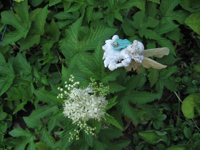 Meadowsweet  in Flower