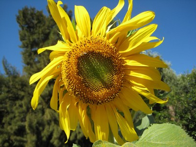 Lammas Sunflower