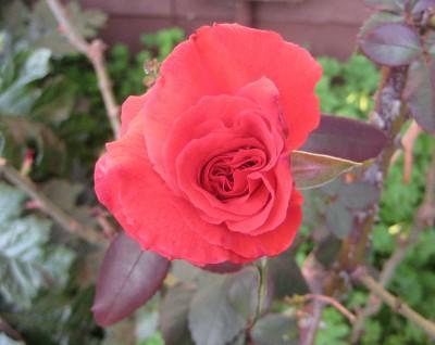 Brigid Red Rose