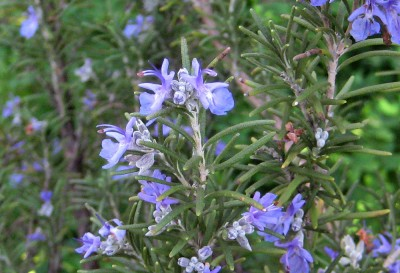 Brigid Rosemary Blossoms