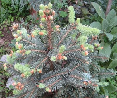 Brigid Yule Tree Growth
