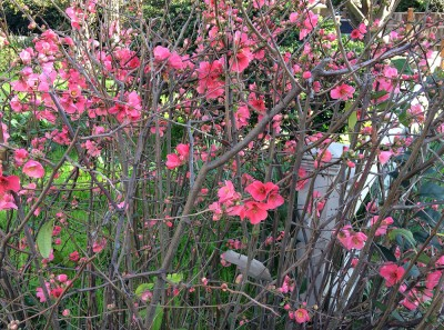 Imbolc_Flowering Quince