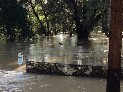 Coyote Creek Flood_William Street Park Ducks Morning After