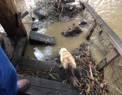Coyote Creek Flood_Kitty Drinking