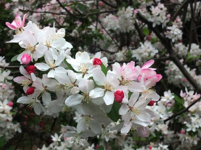 Flowering Apple_Equinox