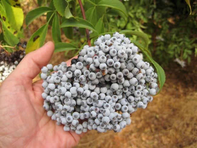 Elderberry Ready to Harvest