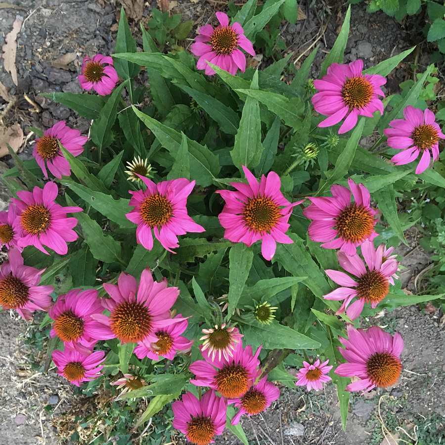 Echinacea medicine flowers beauty