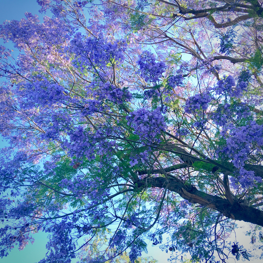 Jacaranda Tree purple beauty